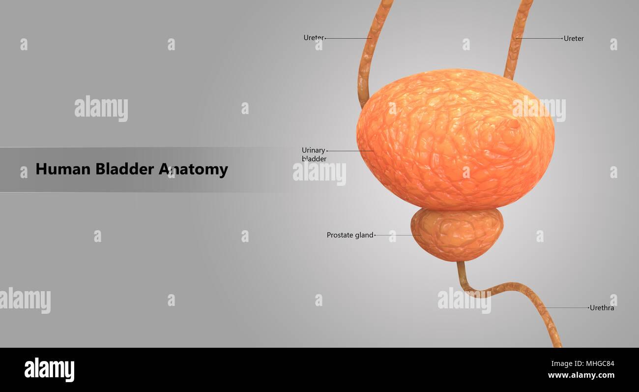 Vistoso Anatomía Funcional Del Sistema Urinario Ejercicio 26 ...