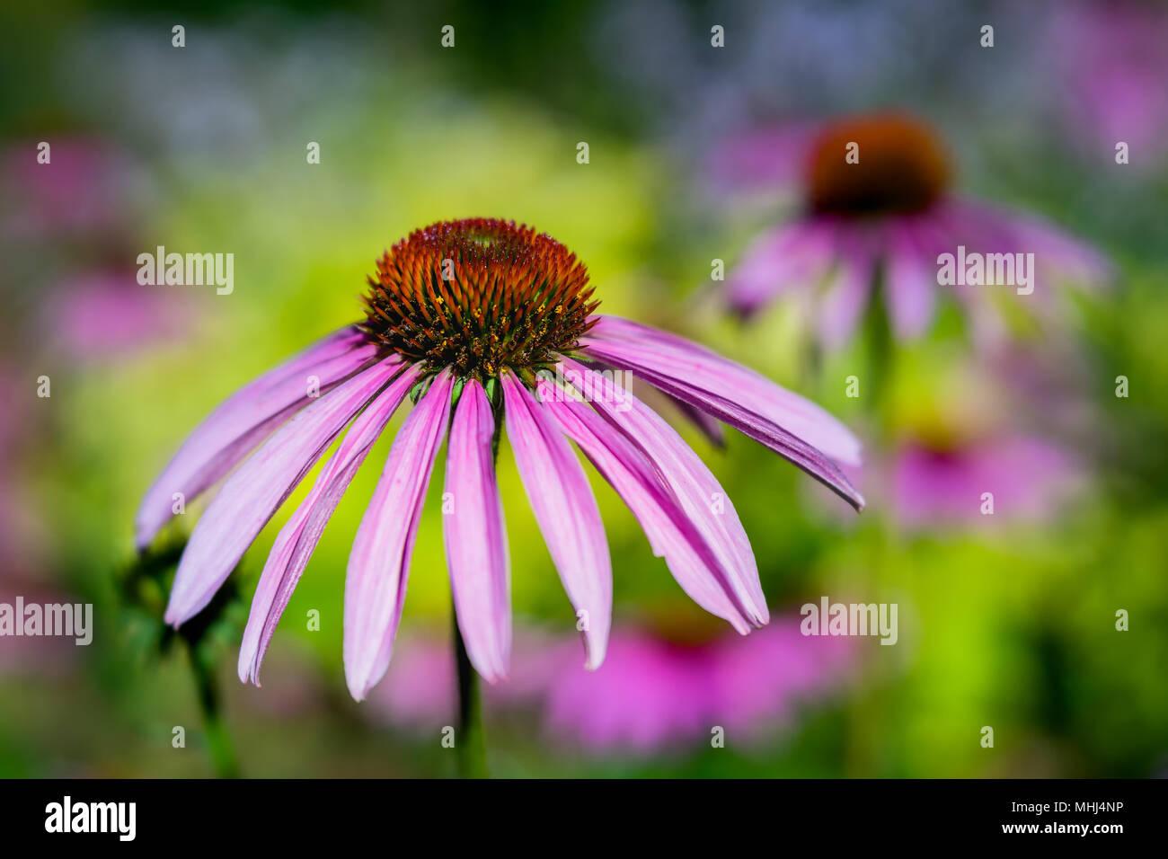 Cerca de una flor en el jardín echinecea fotografiados con un lente de especialidad para obtener la profundidad de campo y cremoso de fondo. Foto de stock