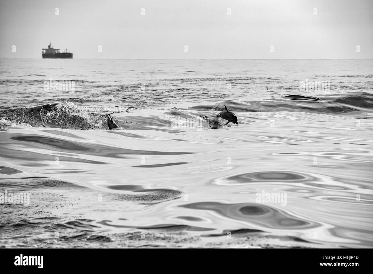 Delfín saltando fuera del mar en blanco y negro Foto de stock