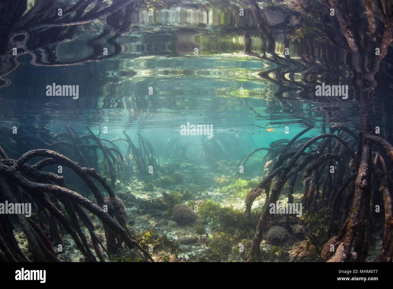 Marea Alta inundaciones un hermoso bosque de manglares de agua azul en Raja Ampat, Indonesia. Este tipo de manglar es conocido por sus aguas claras. Imagen De Stock