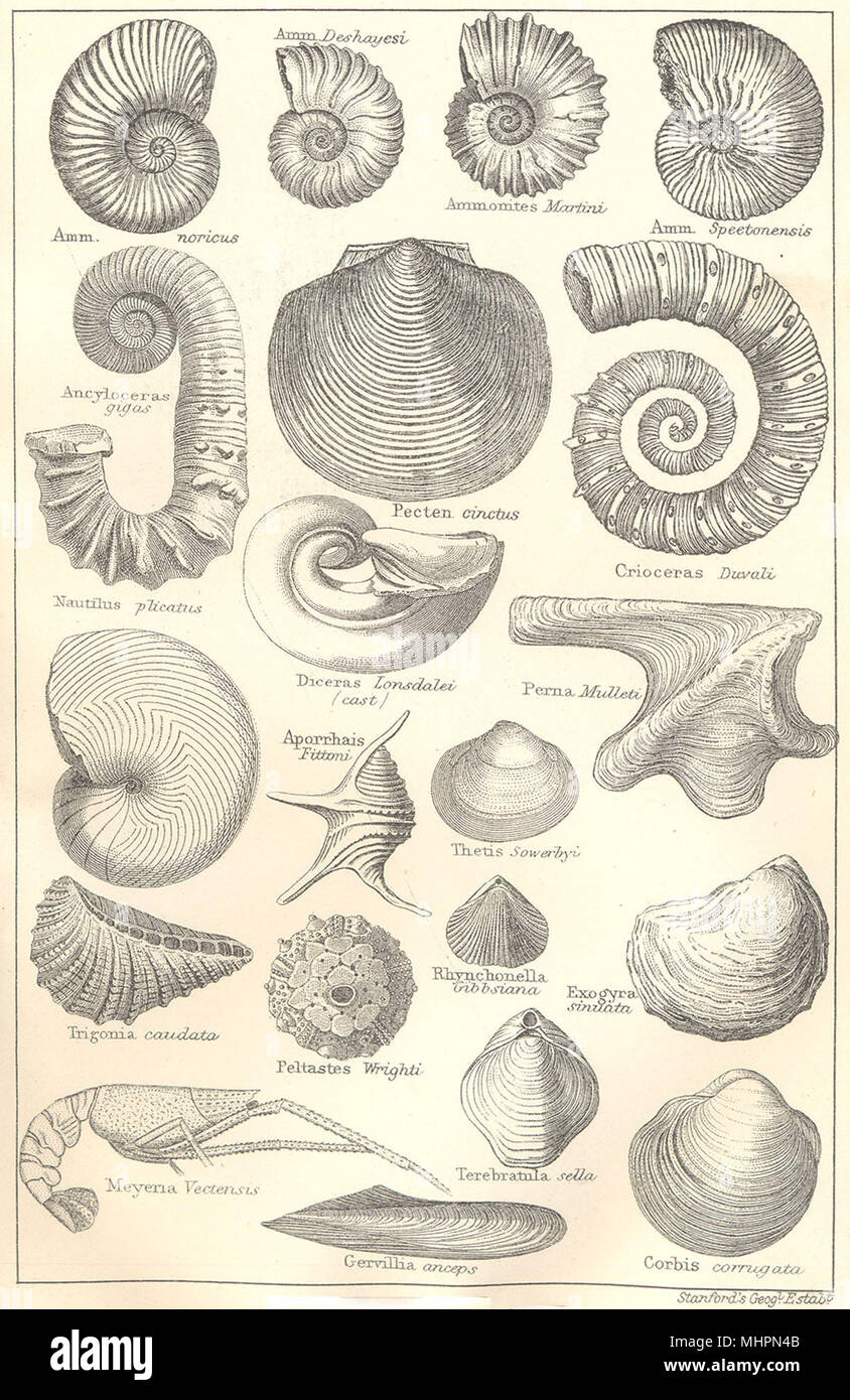 BRITISH fósiles. Greensand Cretácico Inferior. Los moluscos. Los amonitas. STANFORD 1880 Foto de stock