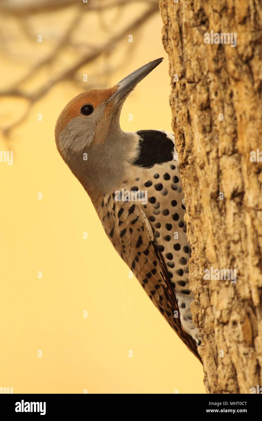 Un parpadeo dorados pausar desde la alimentación en el sur de Arizona. Imagen De Stock