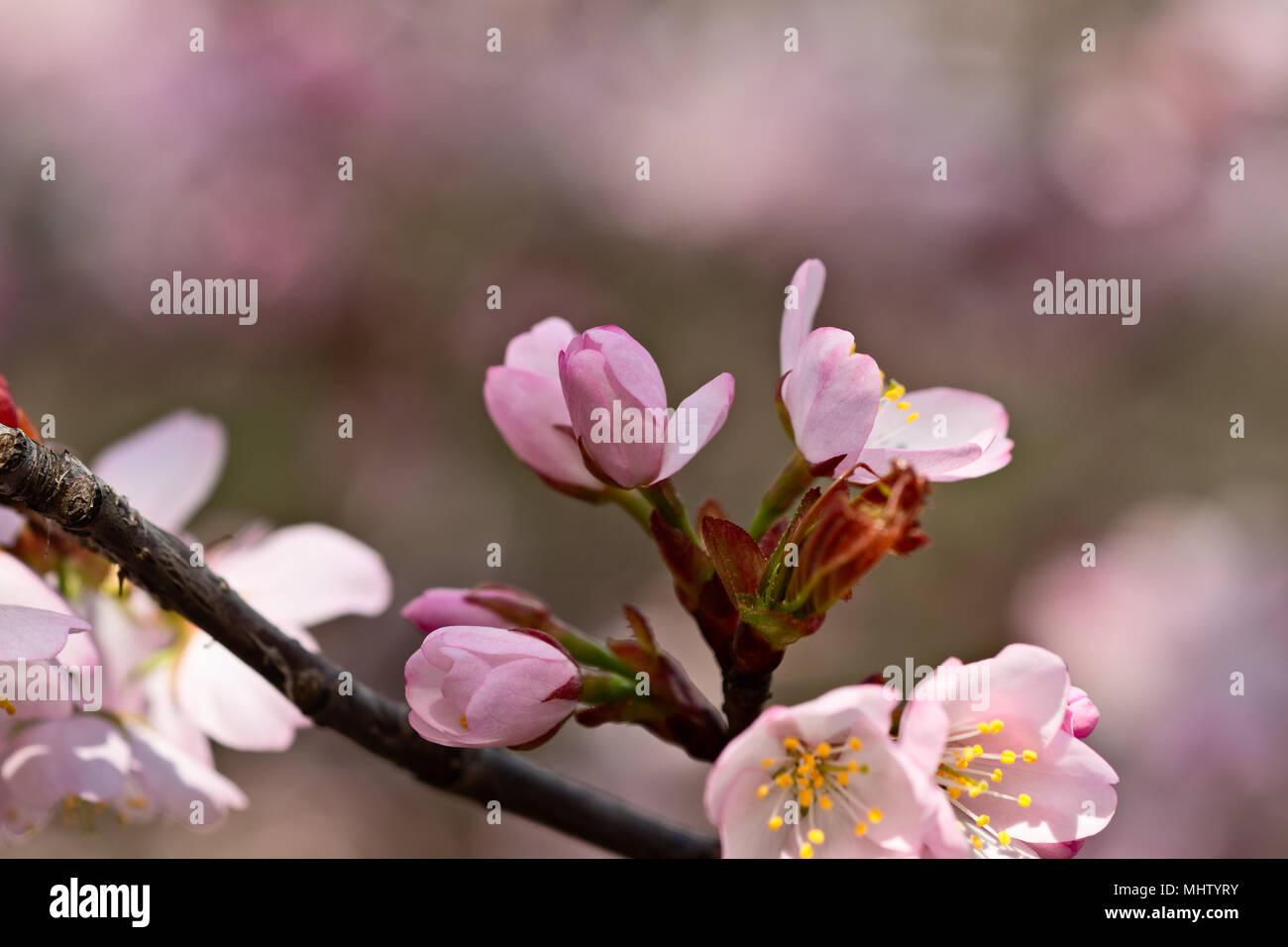 Arbol De Cerezo Japones rosa flor de cerezo japonés - sakura flor de un árbol. flor