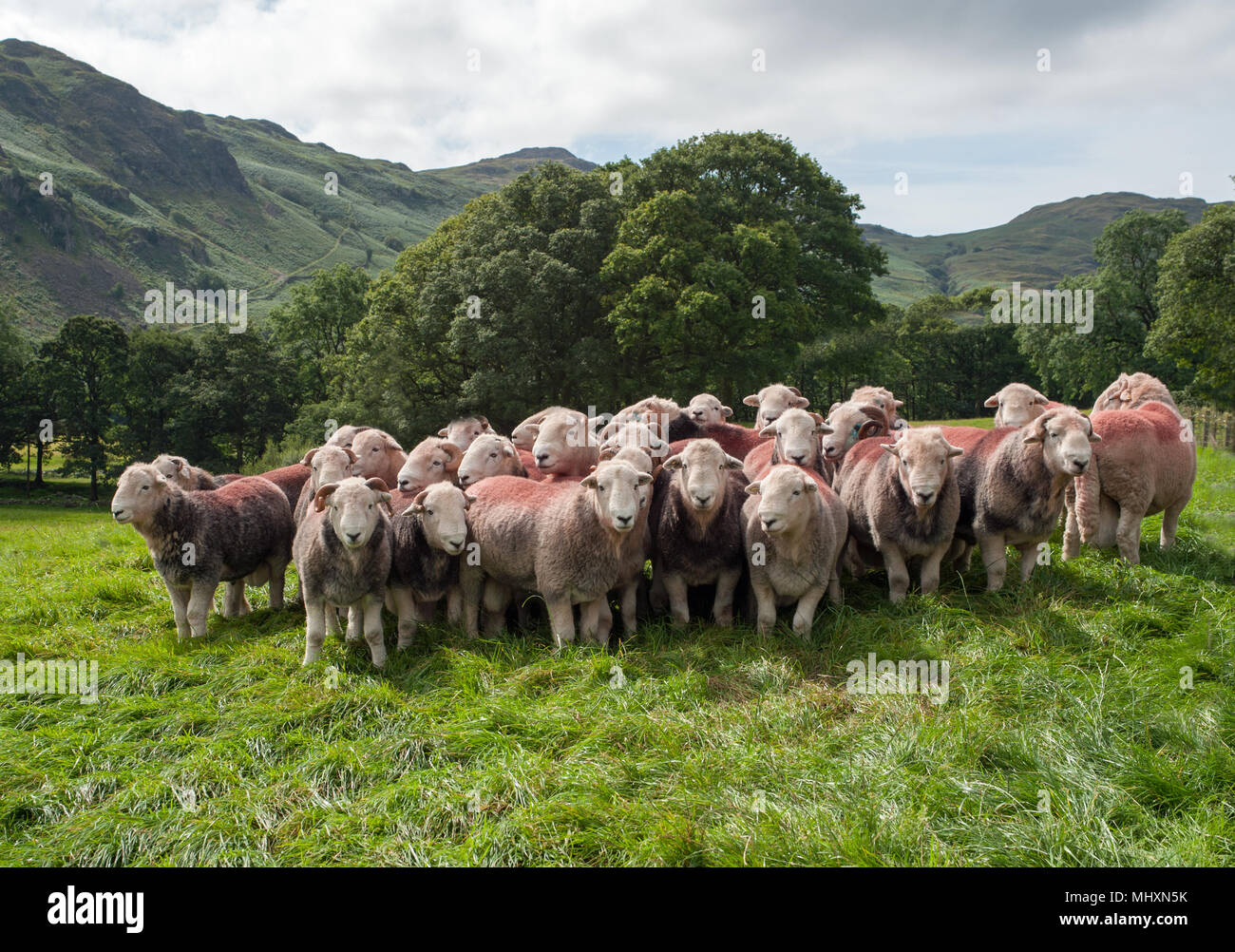 Carneros Herdwick en Eskdale, West Cumbria, cerca Scafell Pike, la montaña más alta de Inglaterra, el distrito de Los Lagos. Imagen De Stock