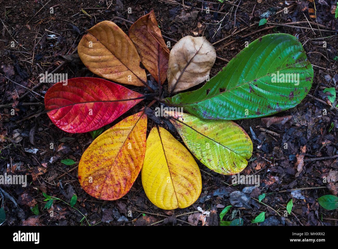 Otoño Maple Leaf y variación del concepto de transición para el otoño y el cambio de la estación Imagen De Stock