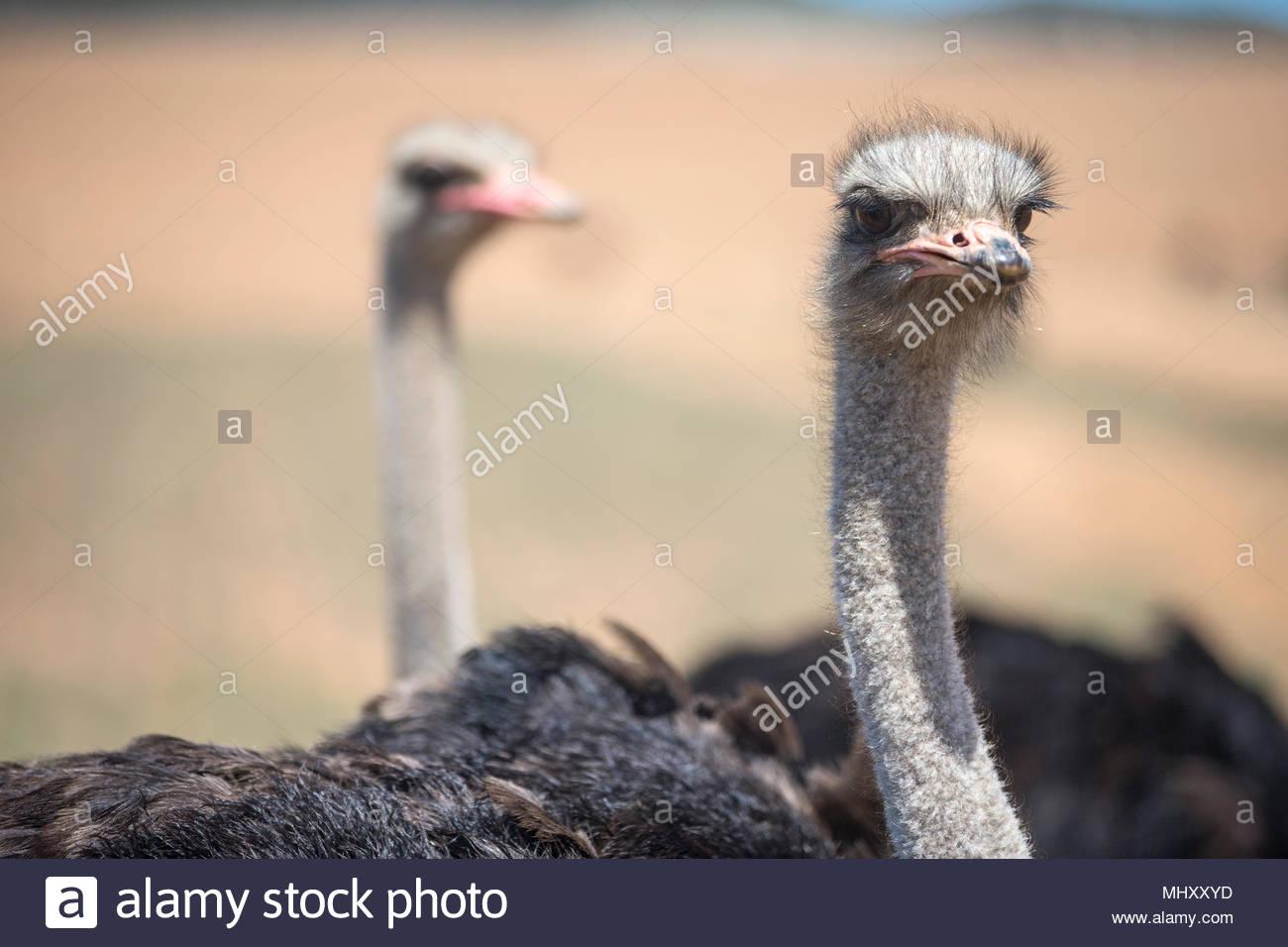 Cerca De Avestruz Grey en campo Sudafricano Imagen De Stock