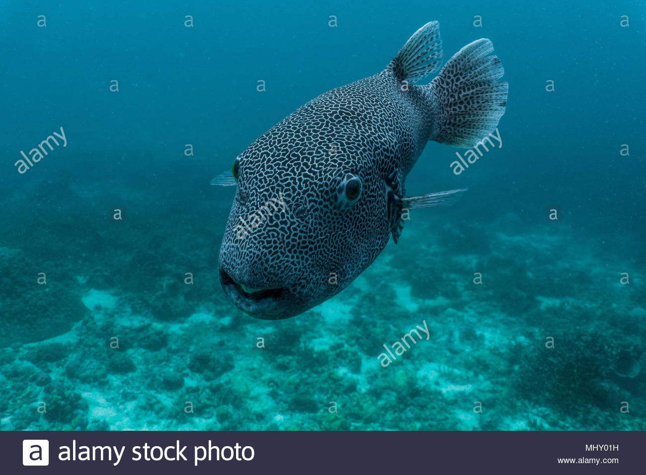 Vista submarina de pez globo, cerca de Phuket, Tailandia Foto de stock