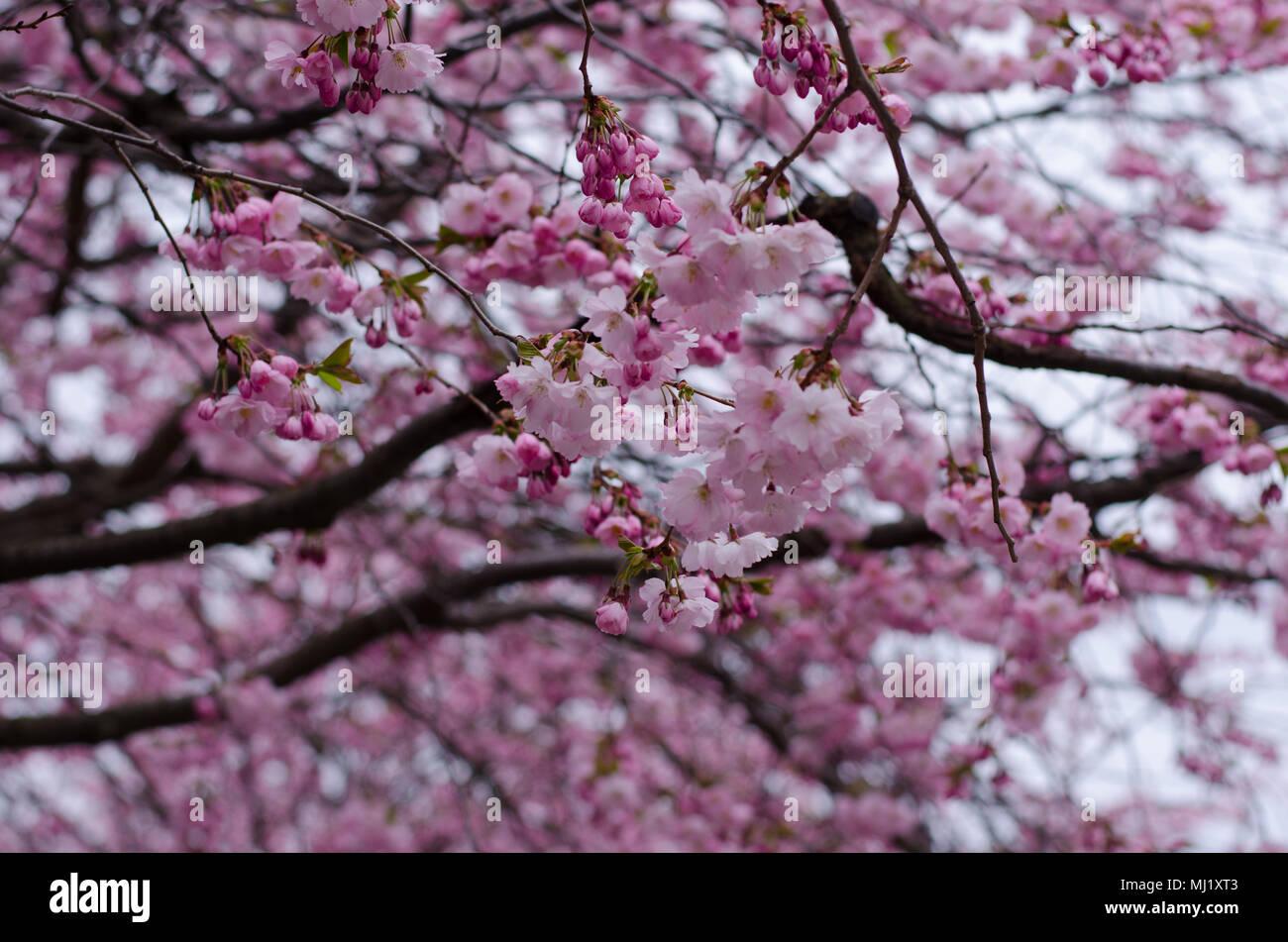 Arbol De Cerezo Japones un árbol de cerezo japonés florece en estocolmo, suecia foto