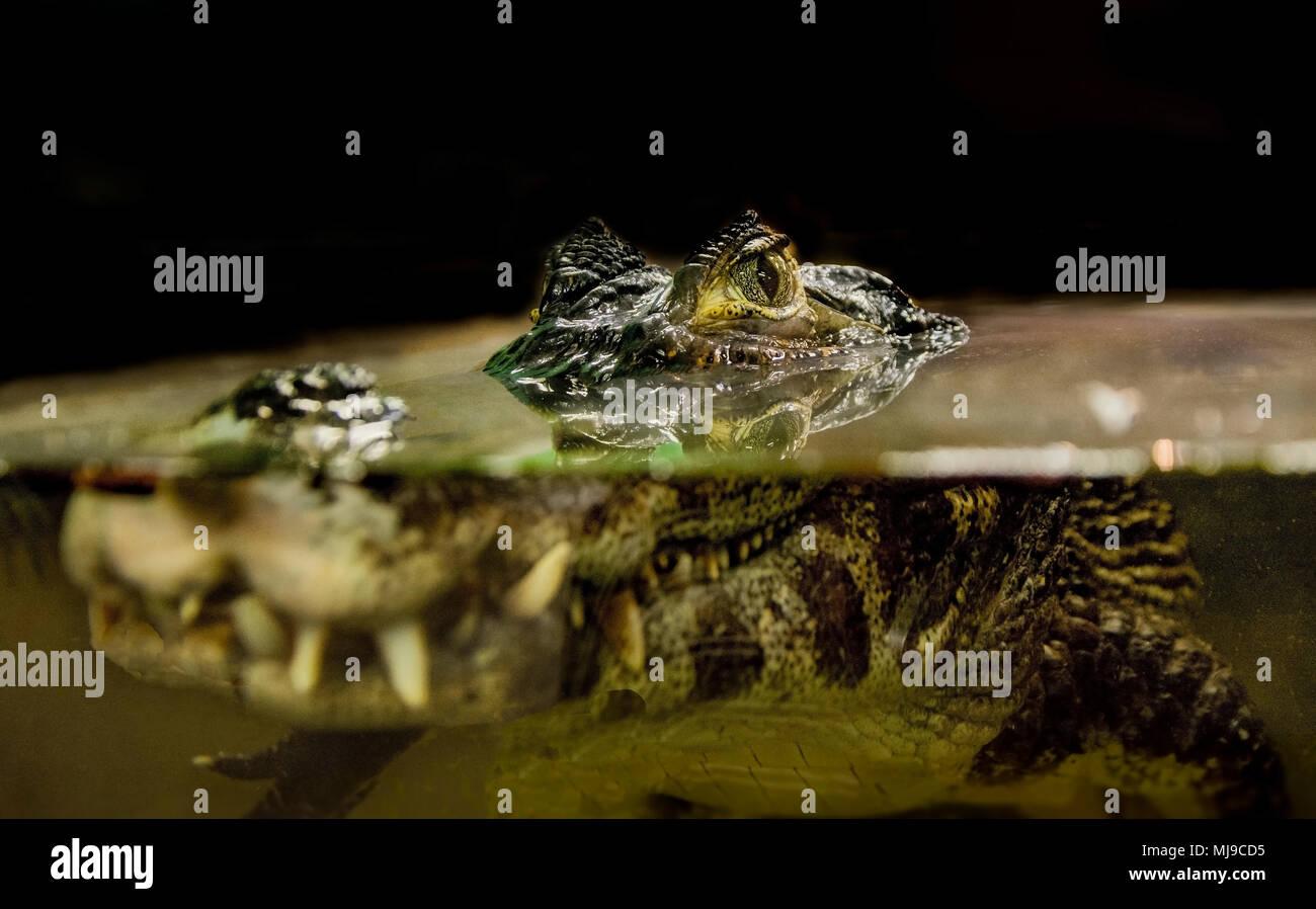 Vista lateral del cocodrilo en el agua Imagen De Stock