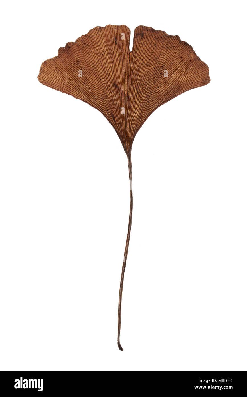 Detalle de una hoja de ginkgo en otoño, cortar delante de un fondo blanco Foto de stock