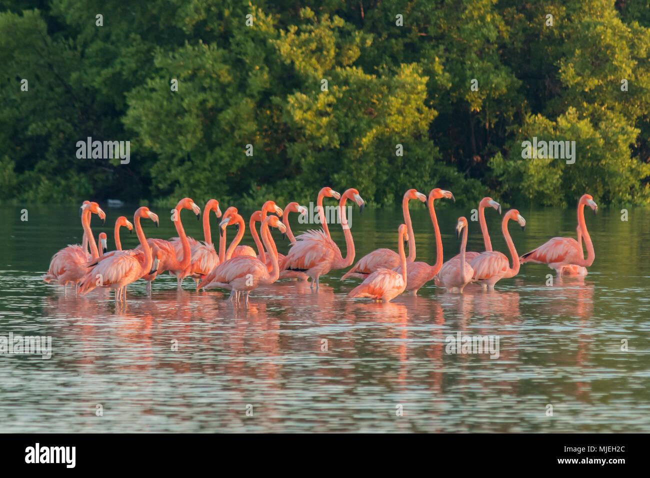 Familia de flamencos rosas al amanecer. Flamencos rosados se reúnen al amanecer, antes de salir para comenzar su día en el río Imagen De Stock