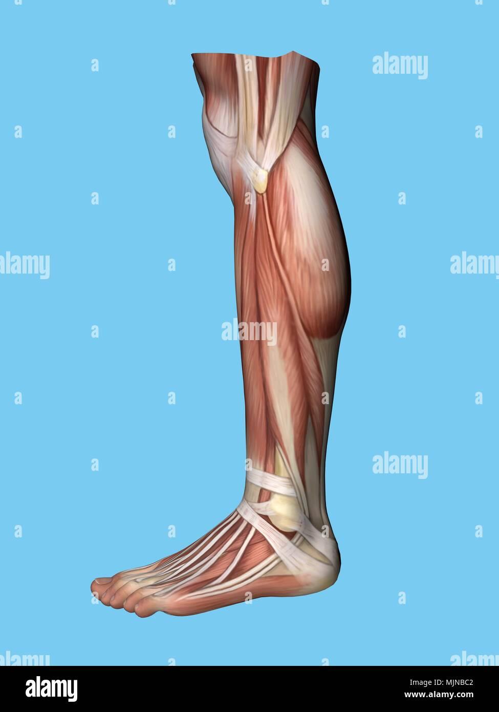 Fantástico Anatomía Del Pie De Cerdo Imágenes - Anatomía de Las ...