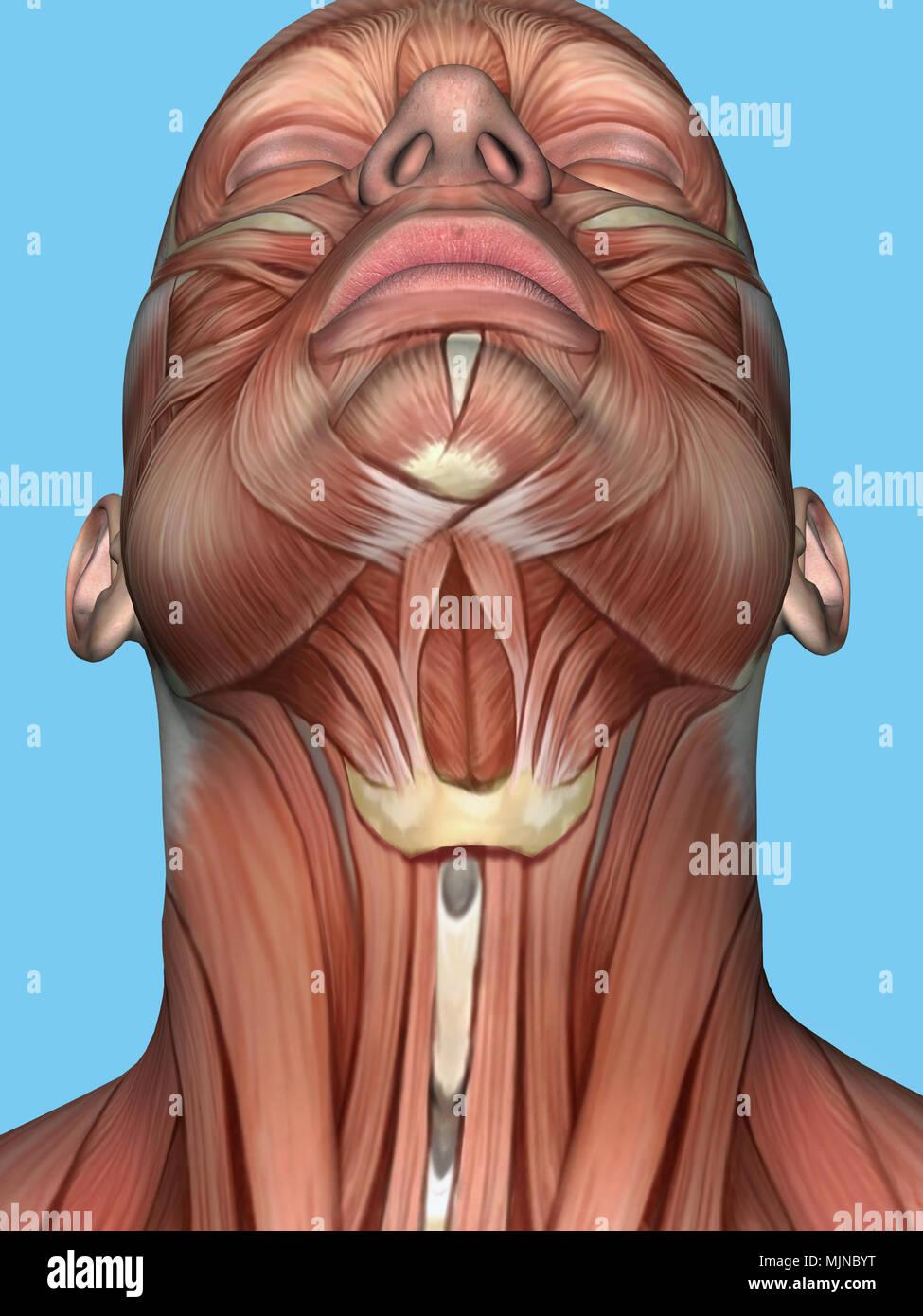 Anatomía de la cara y el cuello en el músculo. Imagen De Stock