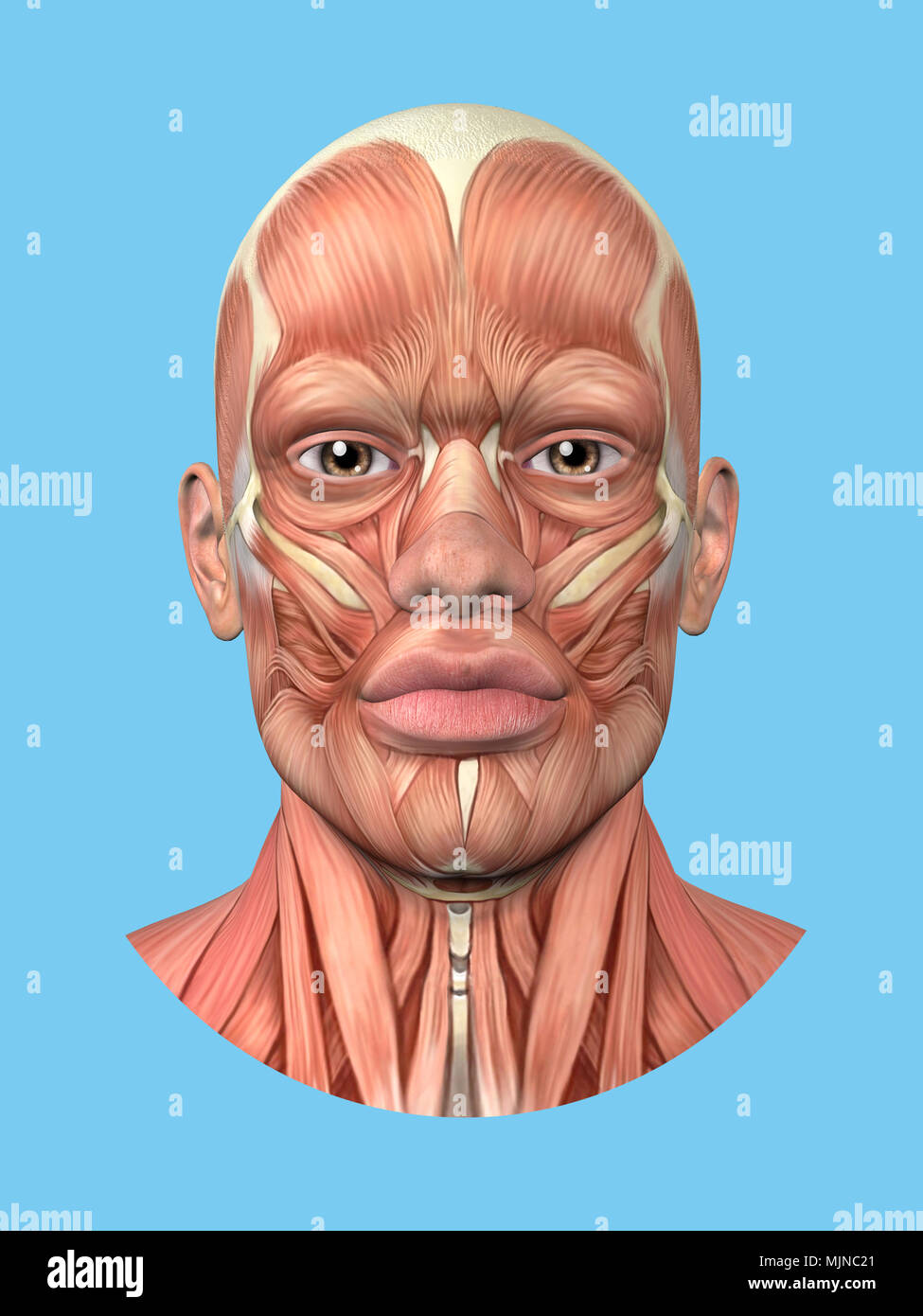 Vista frontal de la anatomía de los principales músculos faciales de un hombre. Imagen De Stock