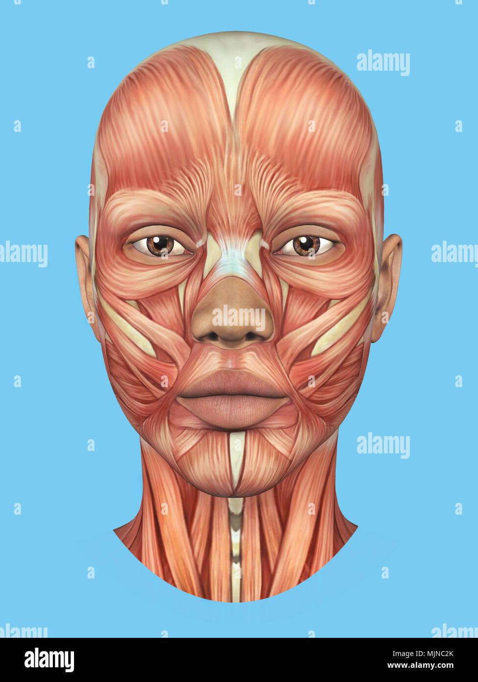 Vista frontal de la anatomía de los principales músculos faciales de ...