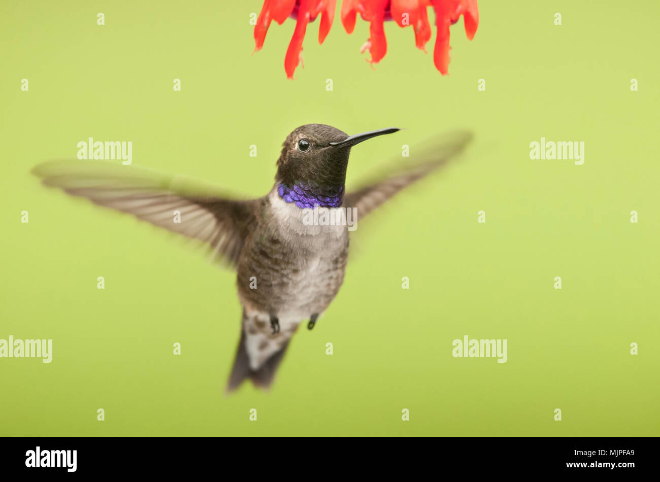 Los Colibríes Mentón Blanco Negro Hummingbird Madera Canyon