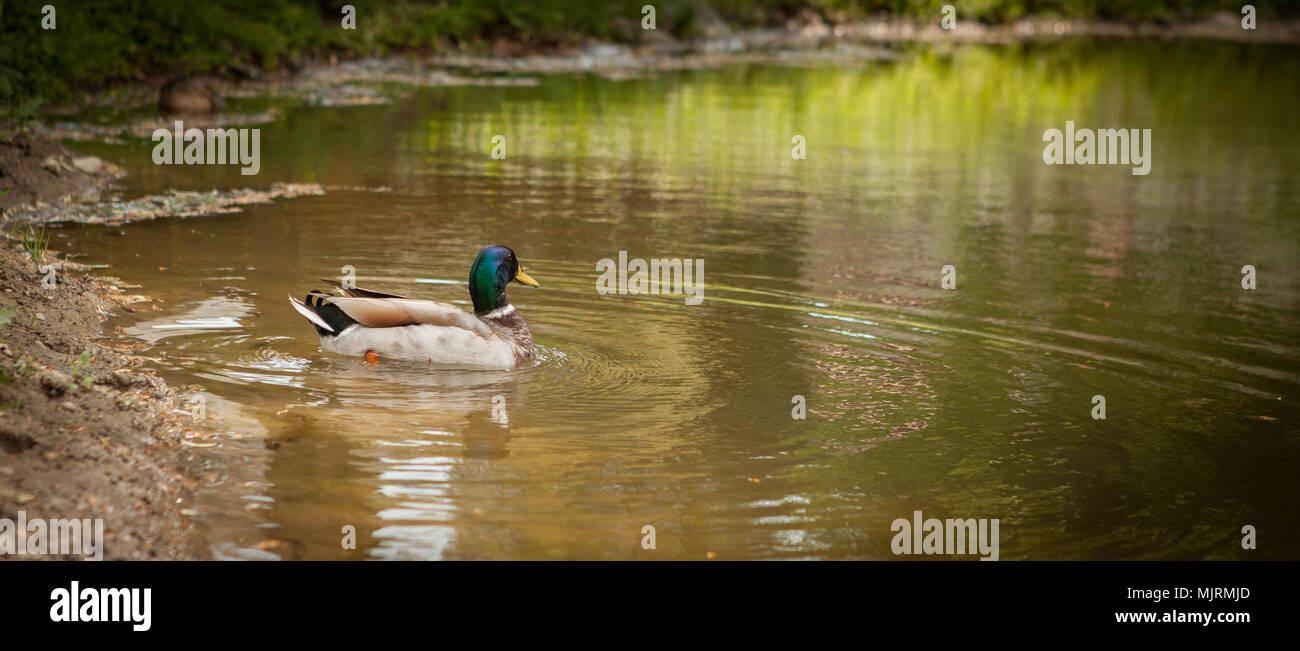 Funny Duck Imágenes De Stock & Funny Duck Fotos De Stock - Alamy