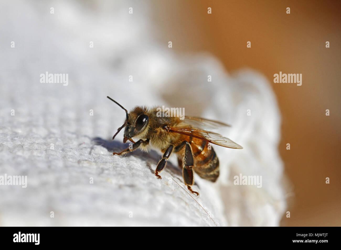 Miel de abeja obrera abeja o un primerísimo plano América Apis mellifera arrastrándose sobre un paño blanco en Italia en primavera Foto de stock