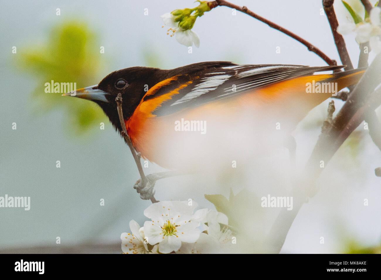 Un Baltimore oriole seaarching Cherry Blossoms para una comida. Foto de stock
