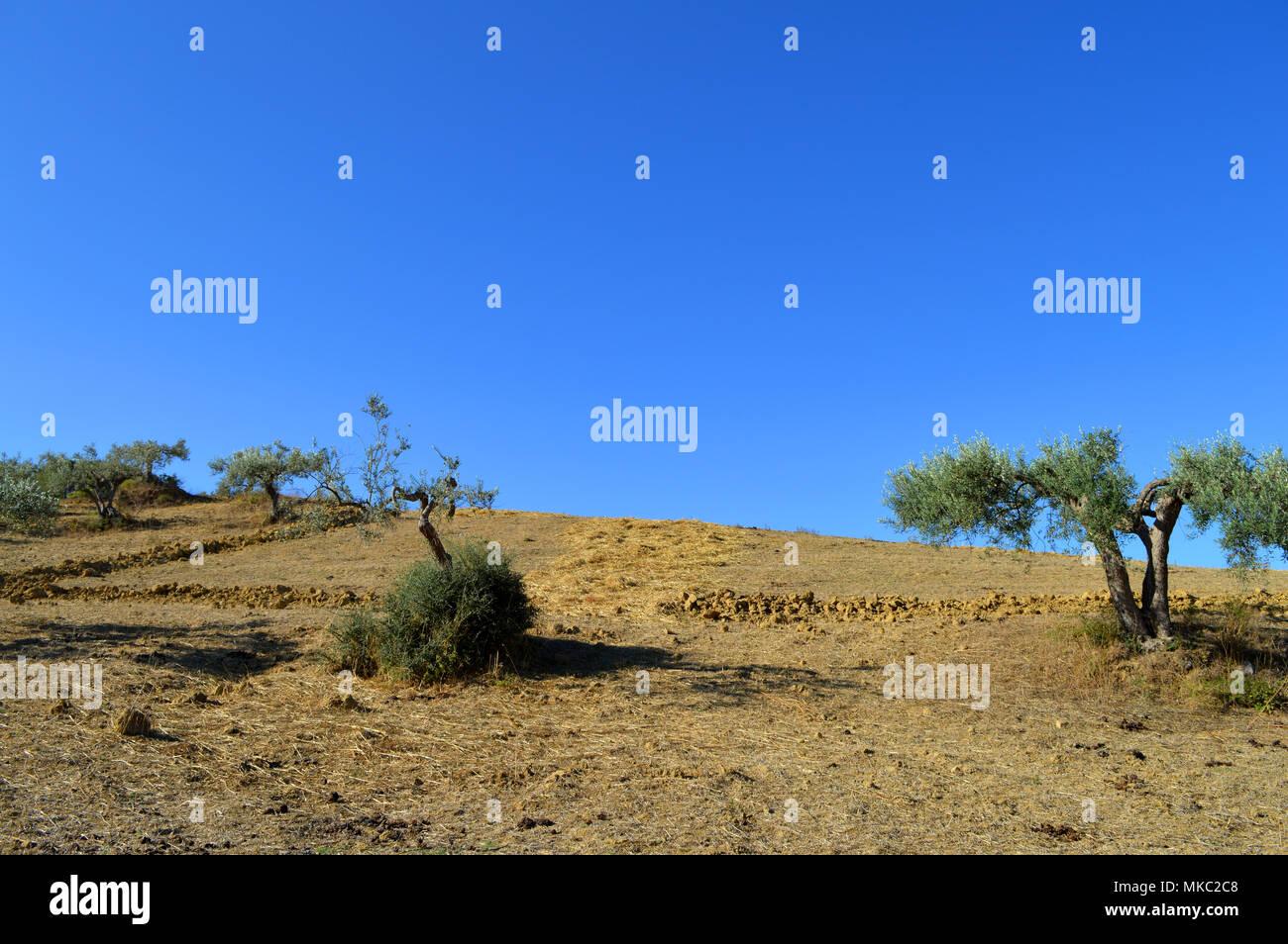 Hermoso paisaje Siciliano con olivos en primer plano, Italia, Europa Foto de stock