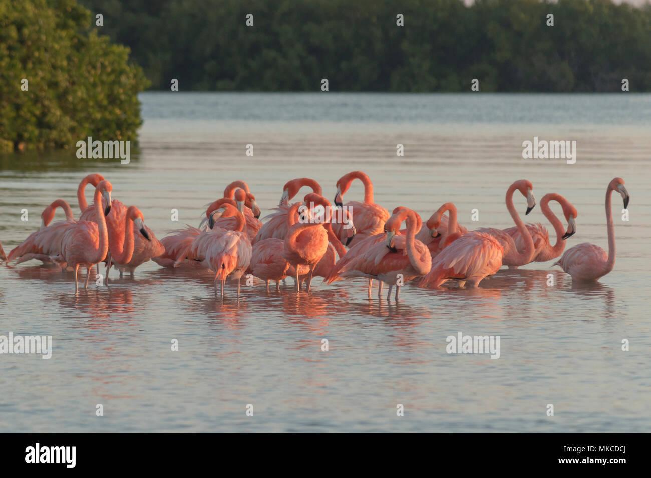 Los flamencos rosados familia en amanecer , se reúnen antes de ponerse en marcha para comenzar su día en el río Imagen De Stock