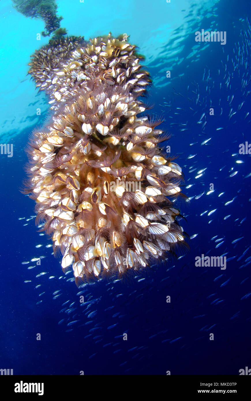 Cuello de cisne pelágicas o suave cuello de cisne percebe percebe (Lepas anatifera), Tenerife, Islas Canarias. Foto de stock