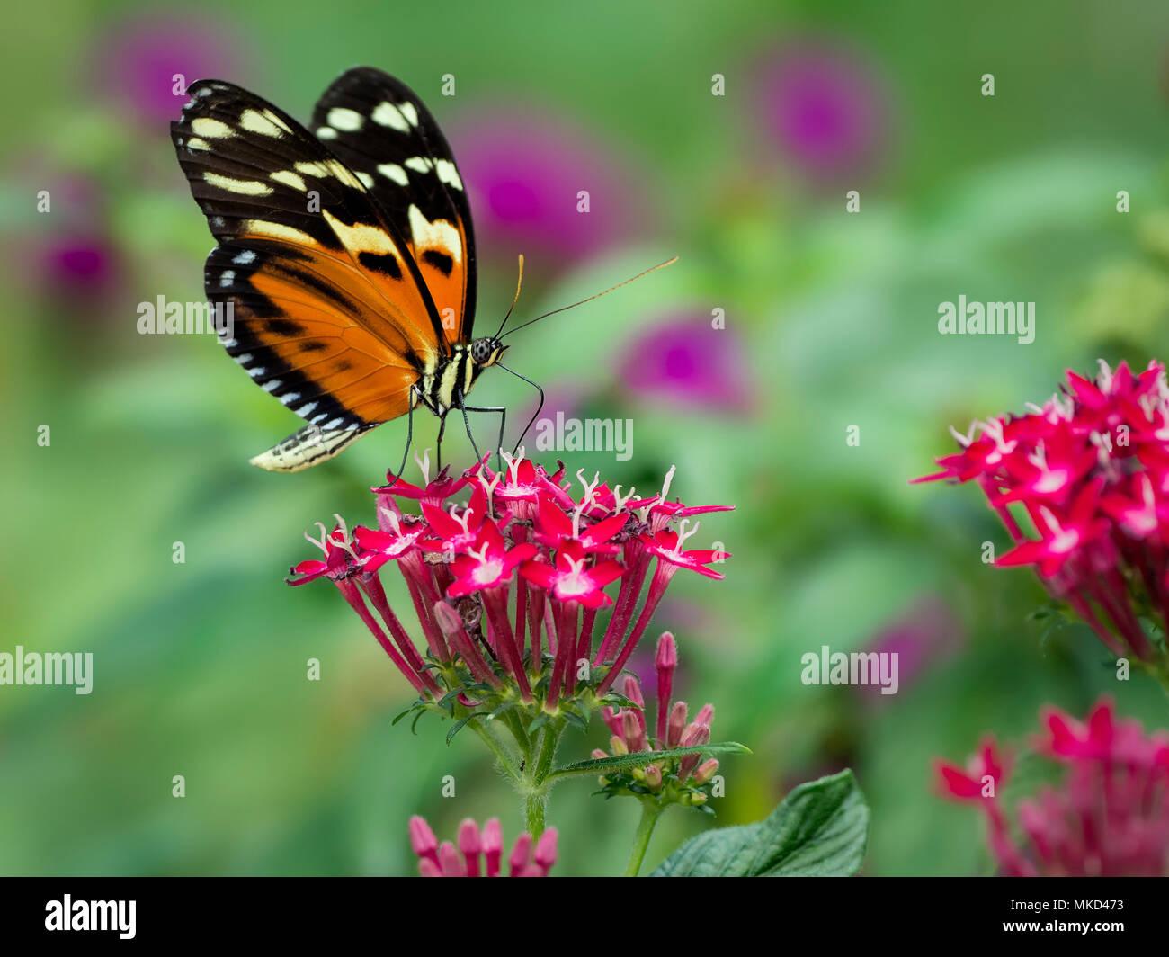 Heliconius ssp. mariposa, Panamá, Febrero Foto de stock