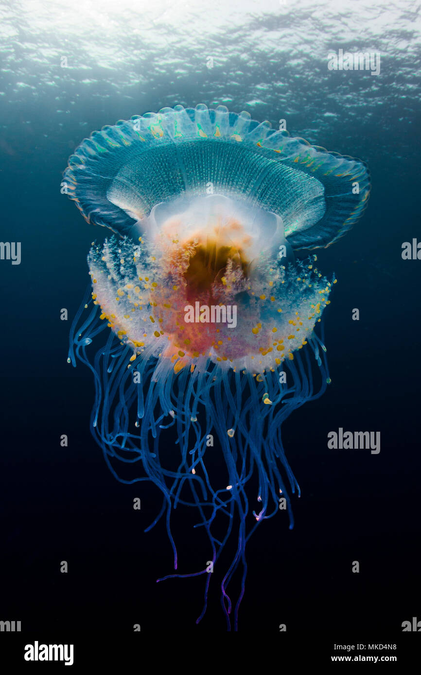 Ángulo de visión baja (medusas Cephea cephea) deriva en aguas abiertas, Tahití, Polinesia Francesa Foto de stock