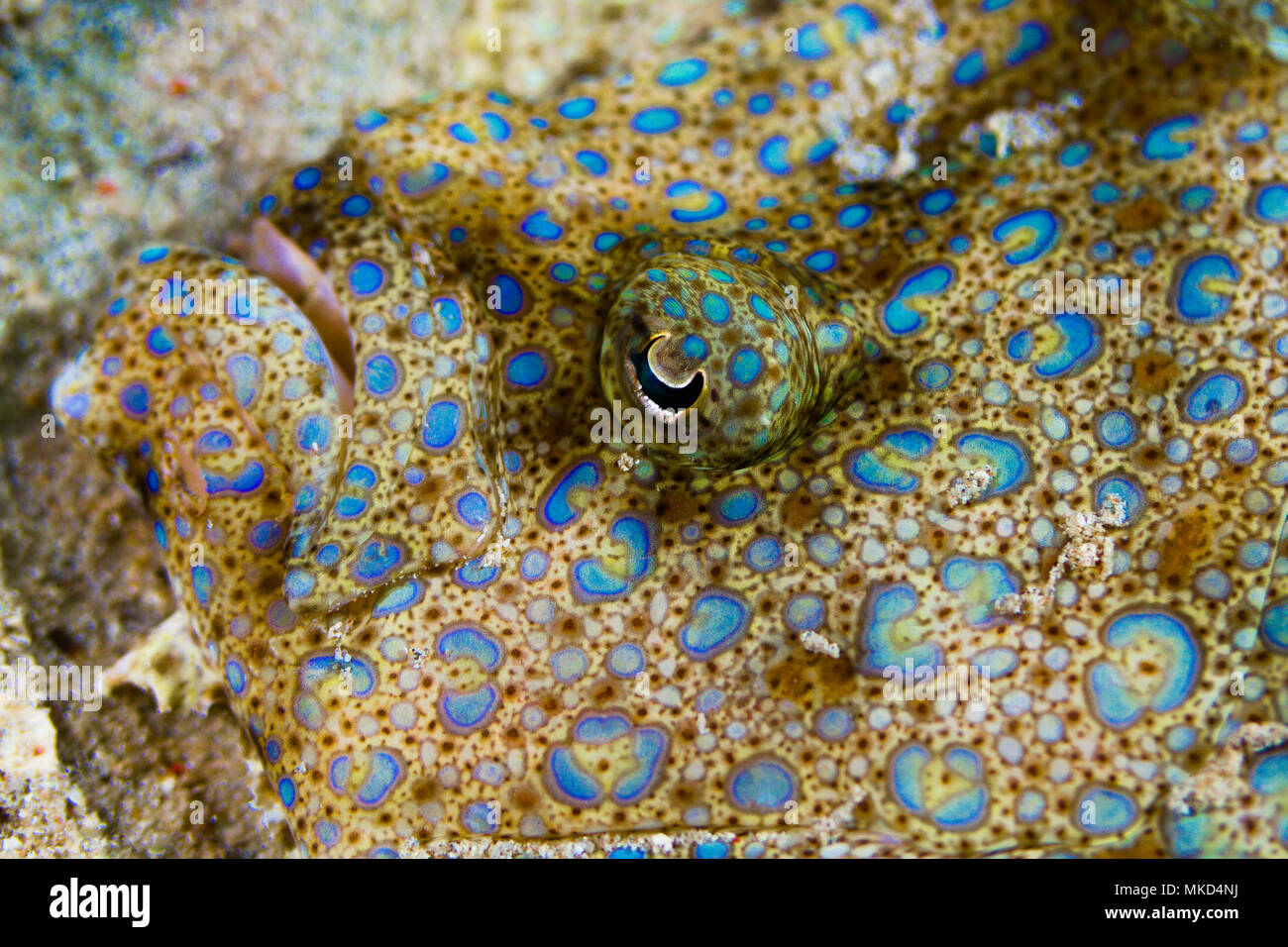 Vista anterior de una platija (Flowerys Bothus mancus) Jefe de Tahití, Polinesia Francesa Foto de stock