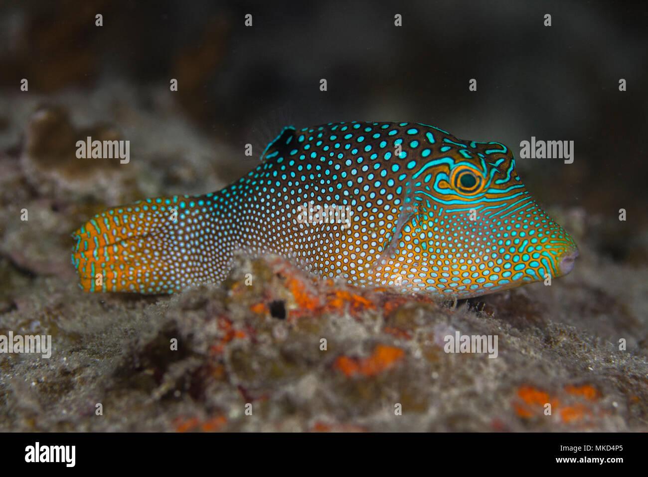 Vista lateral derecha de Toby (Canthigaster solandri manchado) en Arrecife, Tahití, Polinesia Francesa Foto de stock