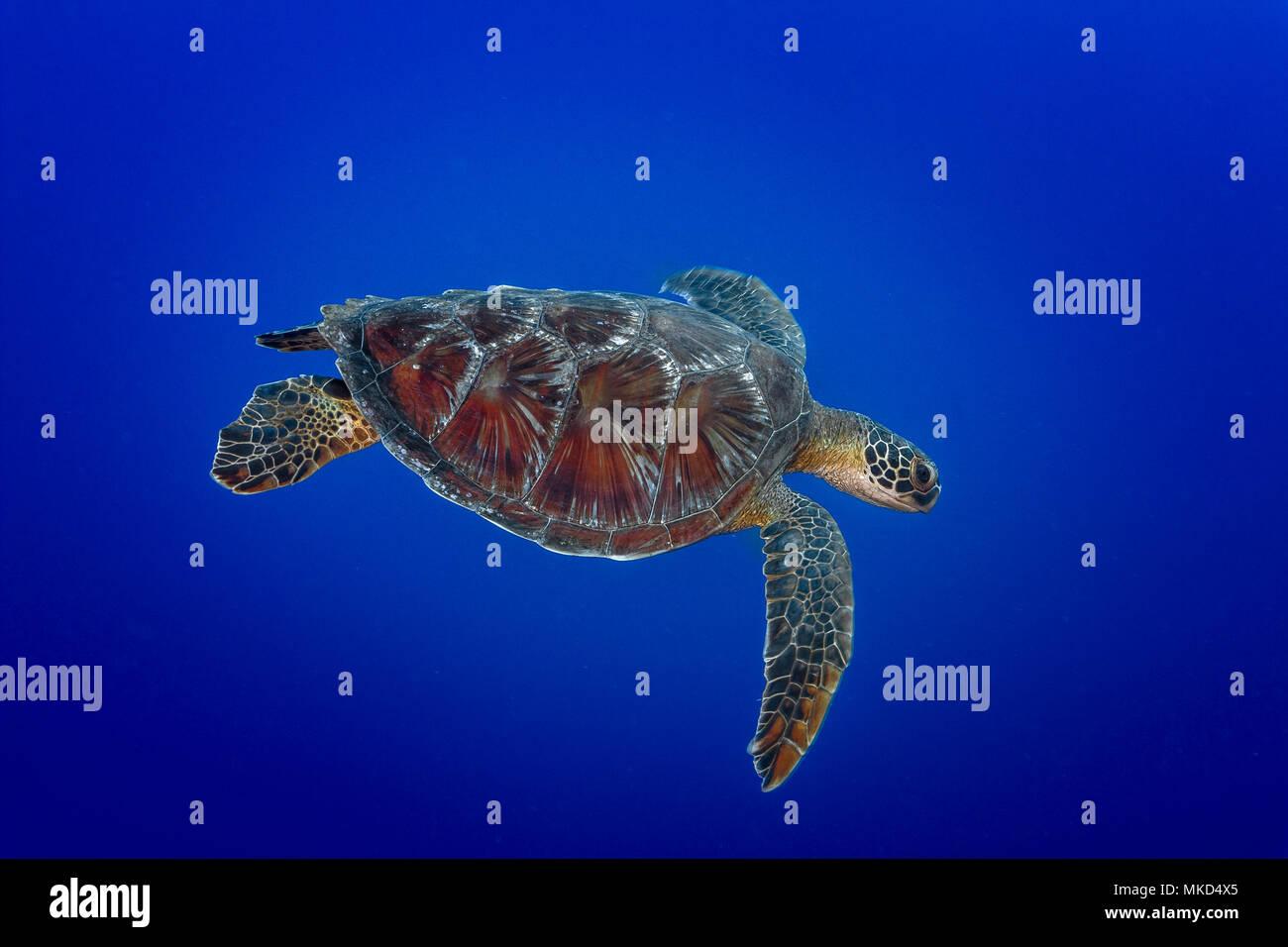 Arriba Vista lateral derecha de la tortuga verde (Chelonia mydas), natación, Tahití, Polinesia Francesa Foto de stock