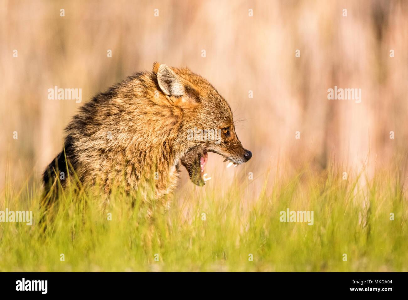 Unión chacal (Canis aureus moreoticus), el delta del Danubio, Rumania Foto de stock