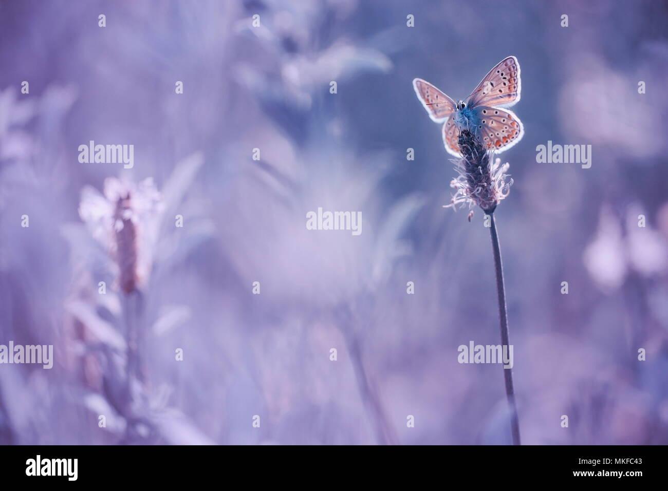 Butterfly (Lycaenidae sp) en una oreja de llantén contra la luz, Francia Foto de stock