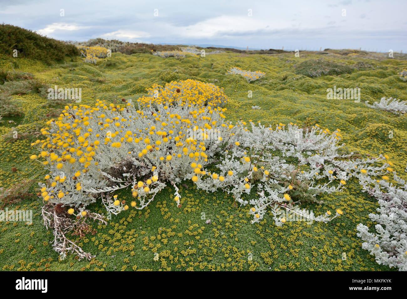 Senecio patagónico (Senecio patagonicus), Asteraceae, sobre una alfombra de Azorelle o el cojín de los Andes (Azorella trifurcata), Reserva natural de Seno Otway, alrededor de Punta Arenas, XII Región de Magallanes y Antártica Chilena Imagen De Stock