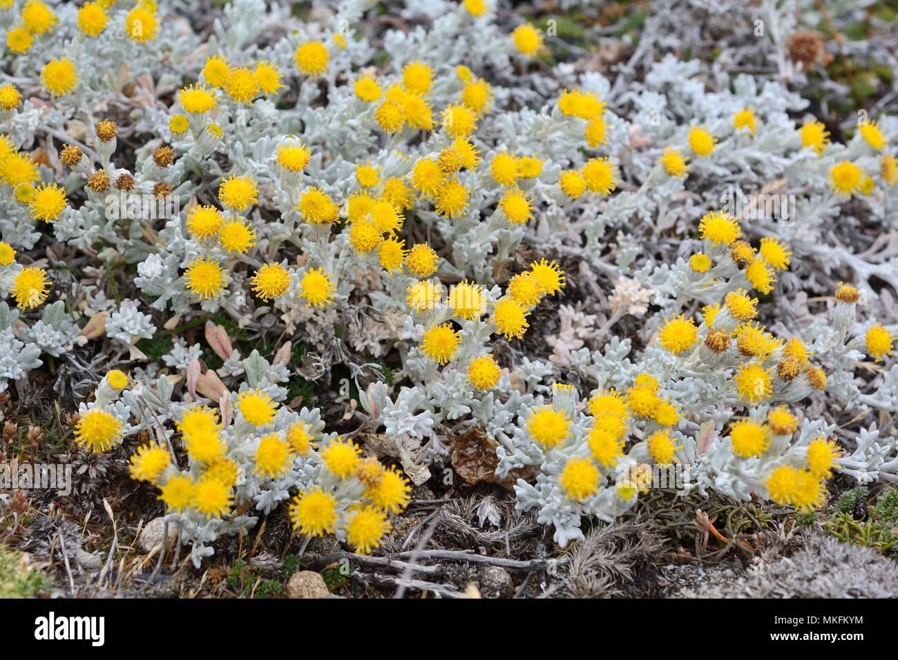 Senecio patagónico (Senecio patagonicus), Asteraceae, Reserva natural de Seno Otway, alrededor de Punta Arenas, XII Región de Magallanes y Antártica Chilena Imagen De Stock