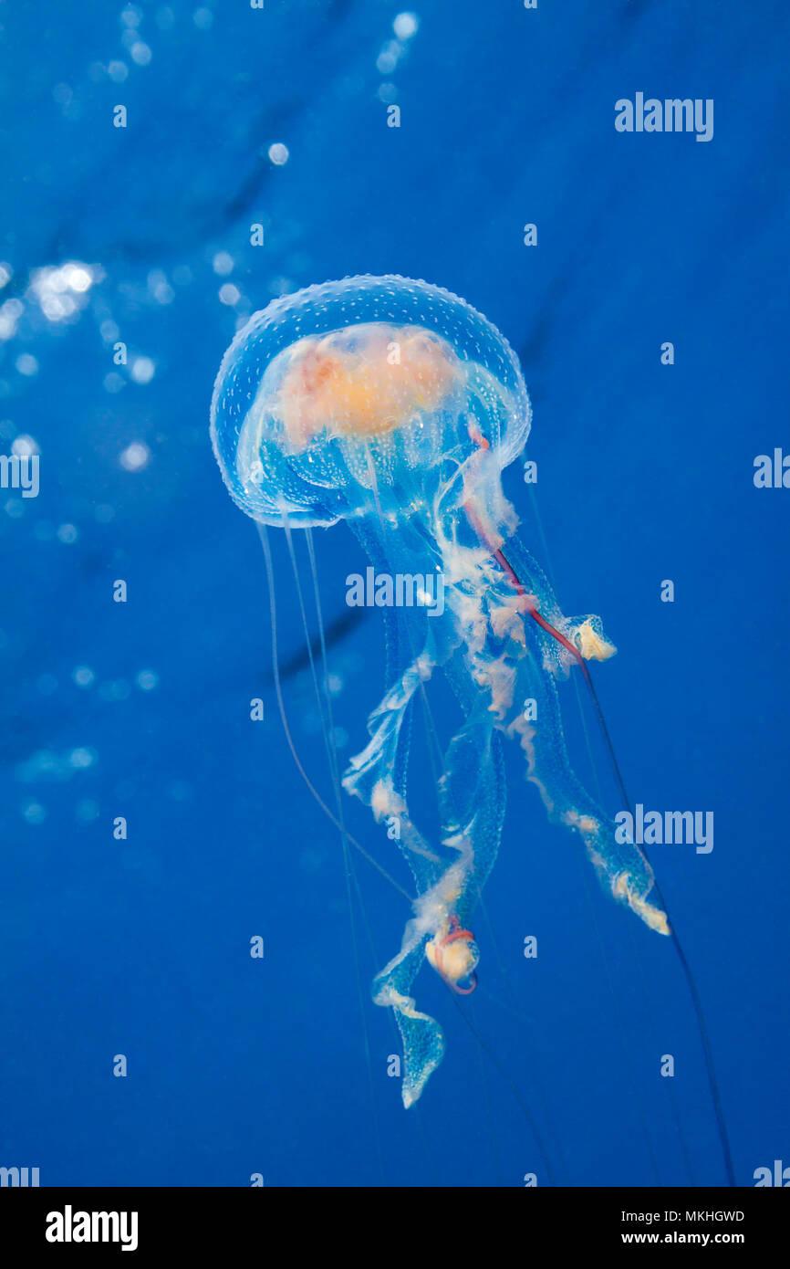 Miles de estas medusas luminiscentes, Pelagia noctiluca, llena la columna de agua en las Filipinas. Foto de stock