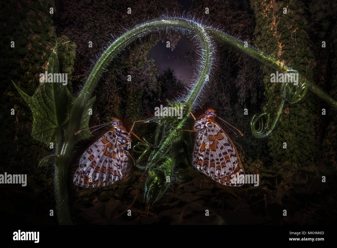Dos mariposas Speyeria Melitaea (sp) descansando en un bosque de noche, Mantova, Lombardía, Italia Foto de stock