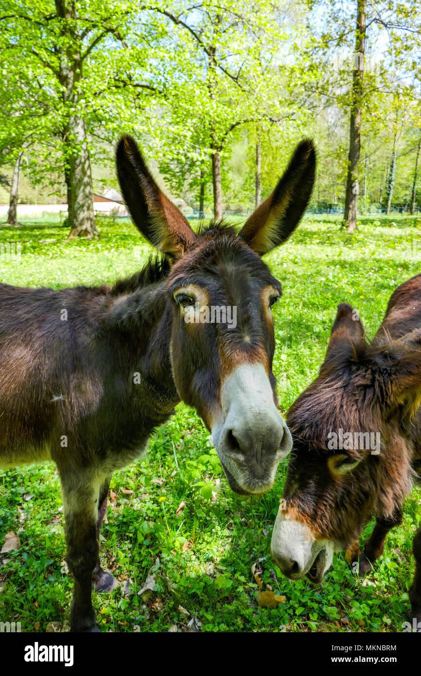 Dos burros, asnos, mulas mirando la cámara Imagen De Stock