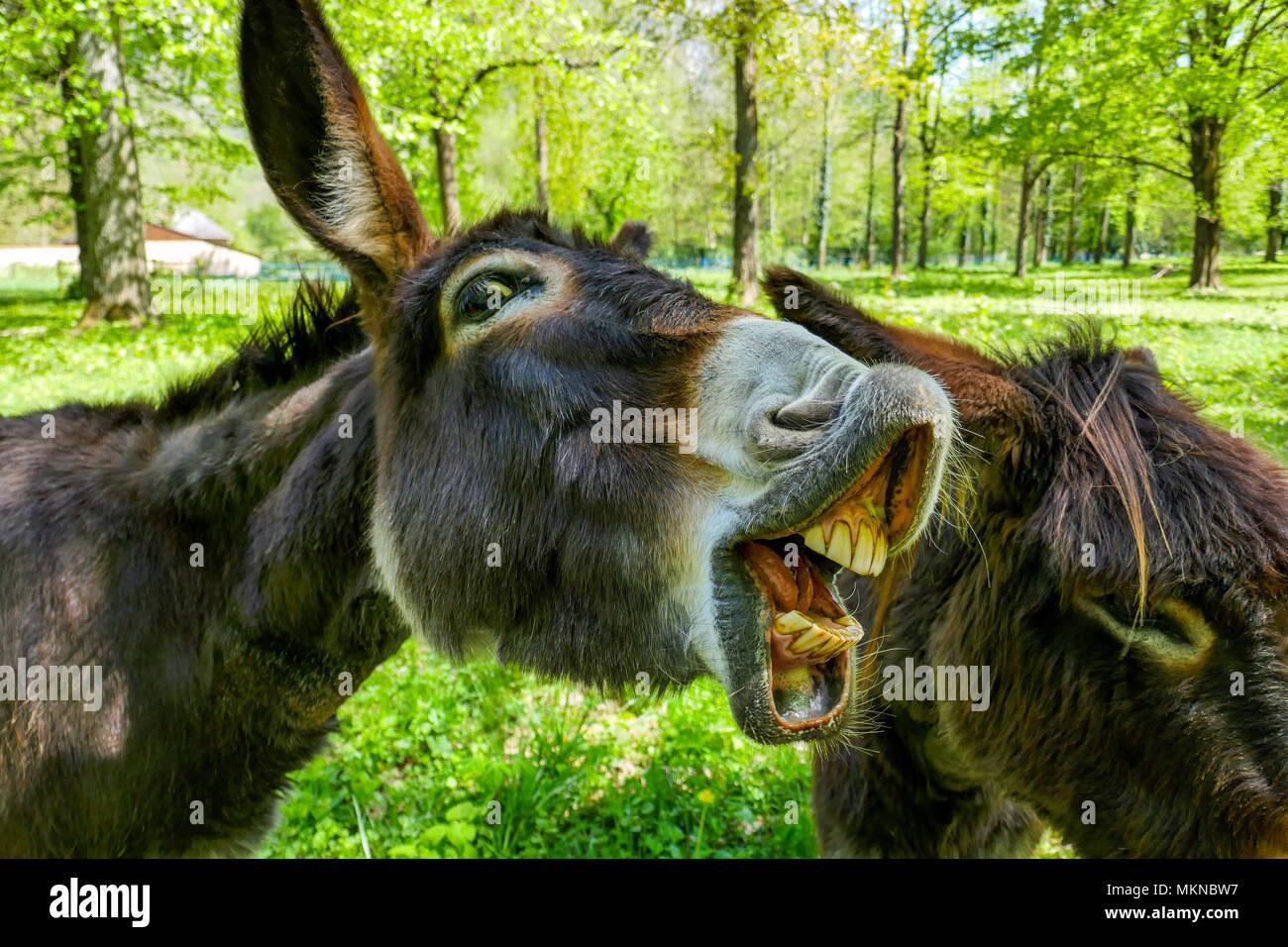 Dos de burro, Mula con dientes, asnos mirando la cámara Imagen De Stock