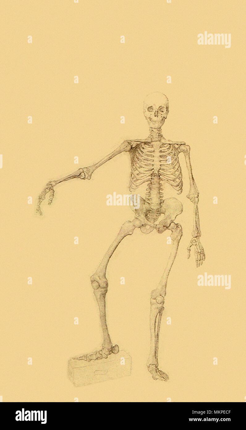 Esqueleto Humano, vista anterior, el brazo derecho extendido Foto ...