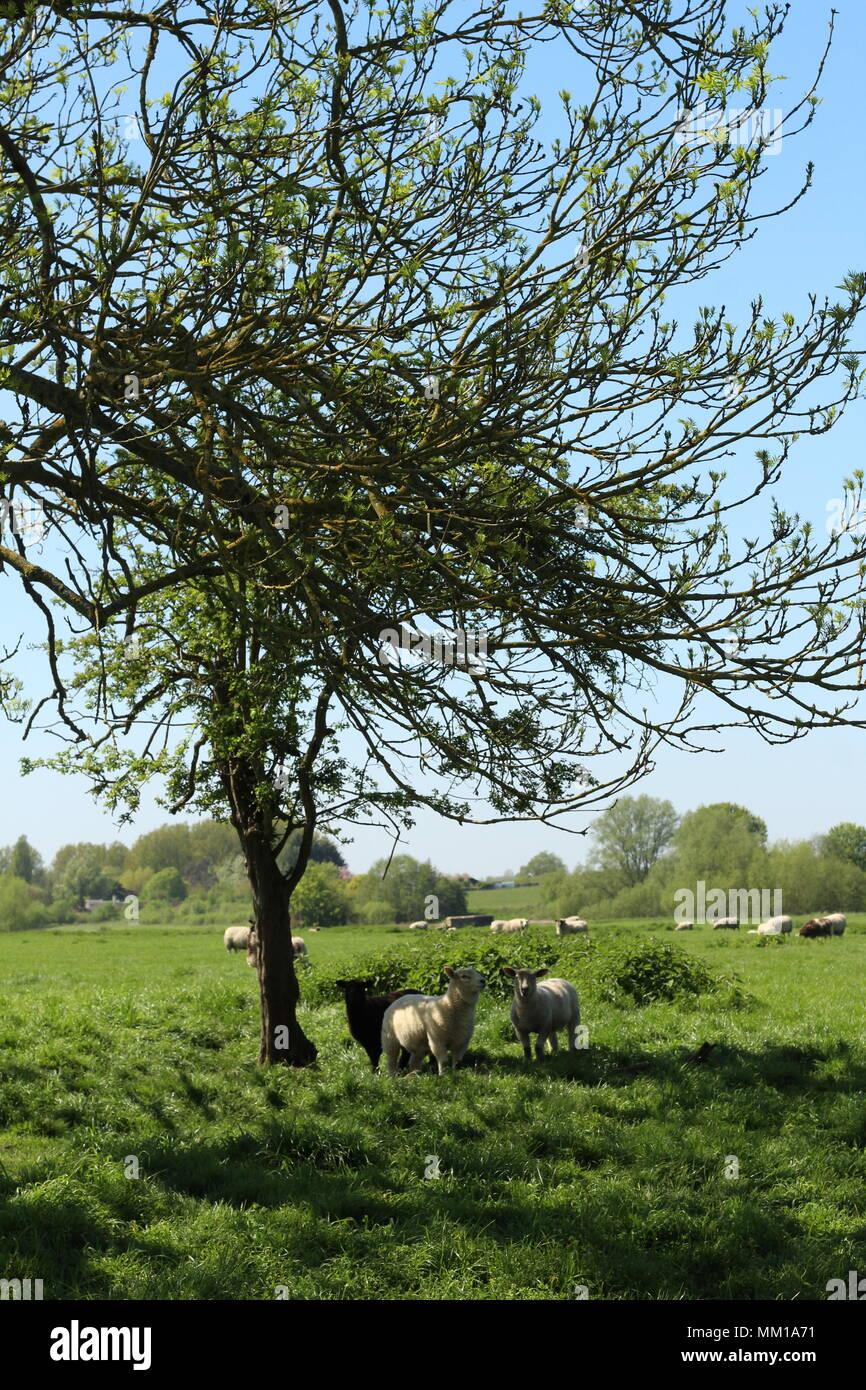 Los intrusos - uno de una serie de fotografías de retratos donde el grupito de ovejas dirigen su mirada en nuestra dirección. Foto de stock