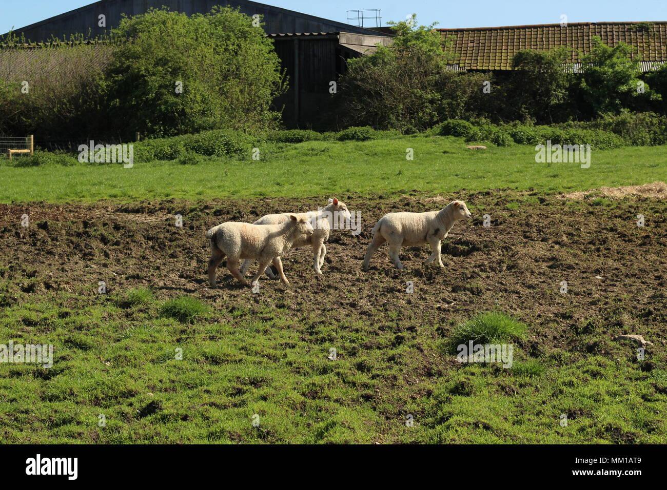 Tres corderos jóvenes caminando a través de tierras de cultivo en Colchester, Essex, Inglaterra. Foto de stock
