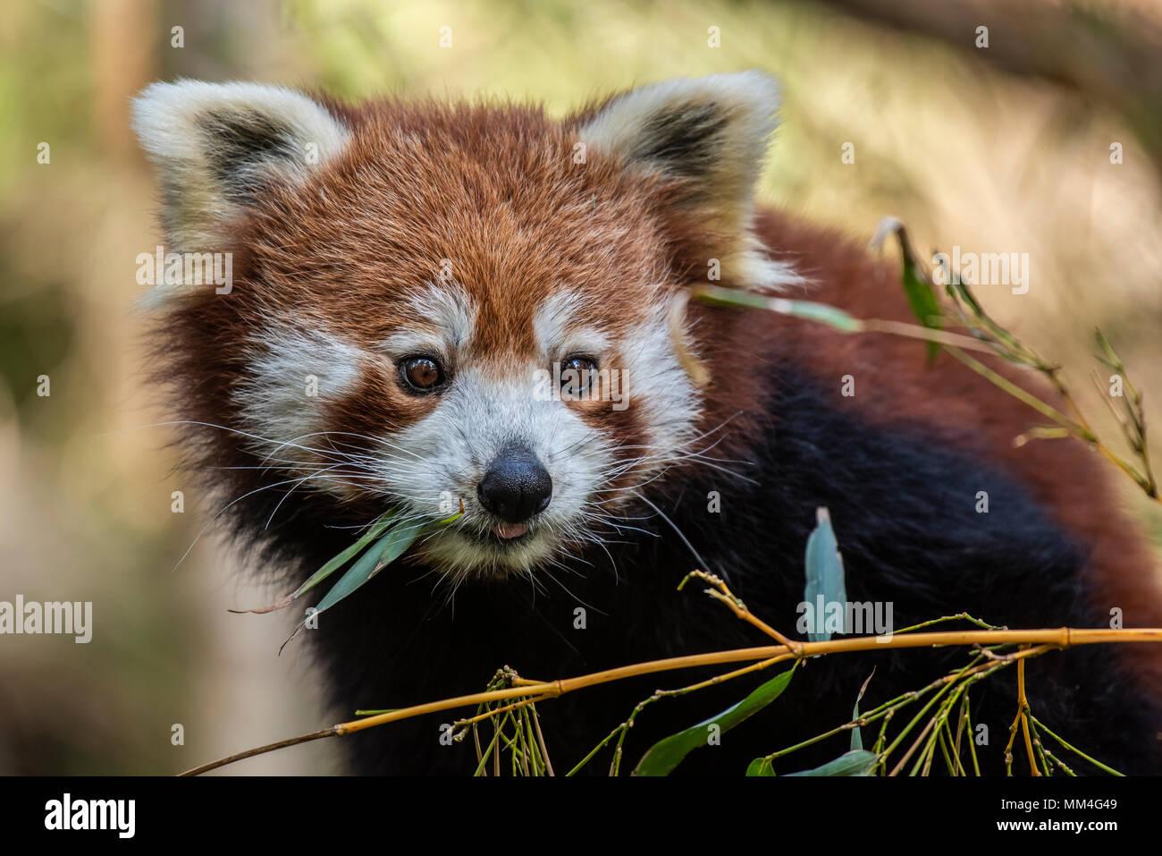 El panda rojo o también conocido como el rojo Cat-Bear. Es ligeramente más grande que un gato doméstico y se encuentra principalmente en la región oriental del Himalaya Imagen De Stock