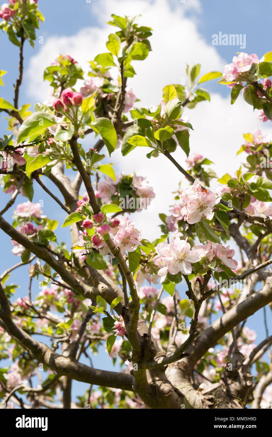 Prol fica abundancia de bramley apple para cocinar las - Flores para cocinar ...