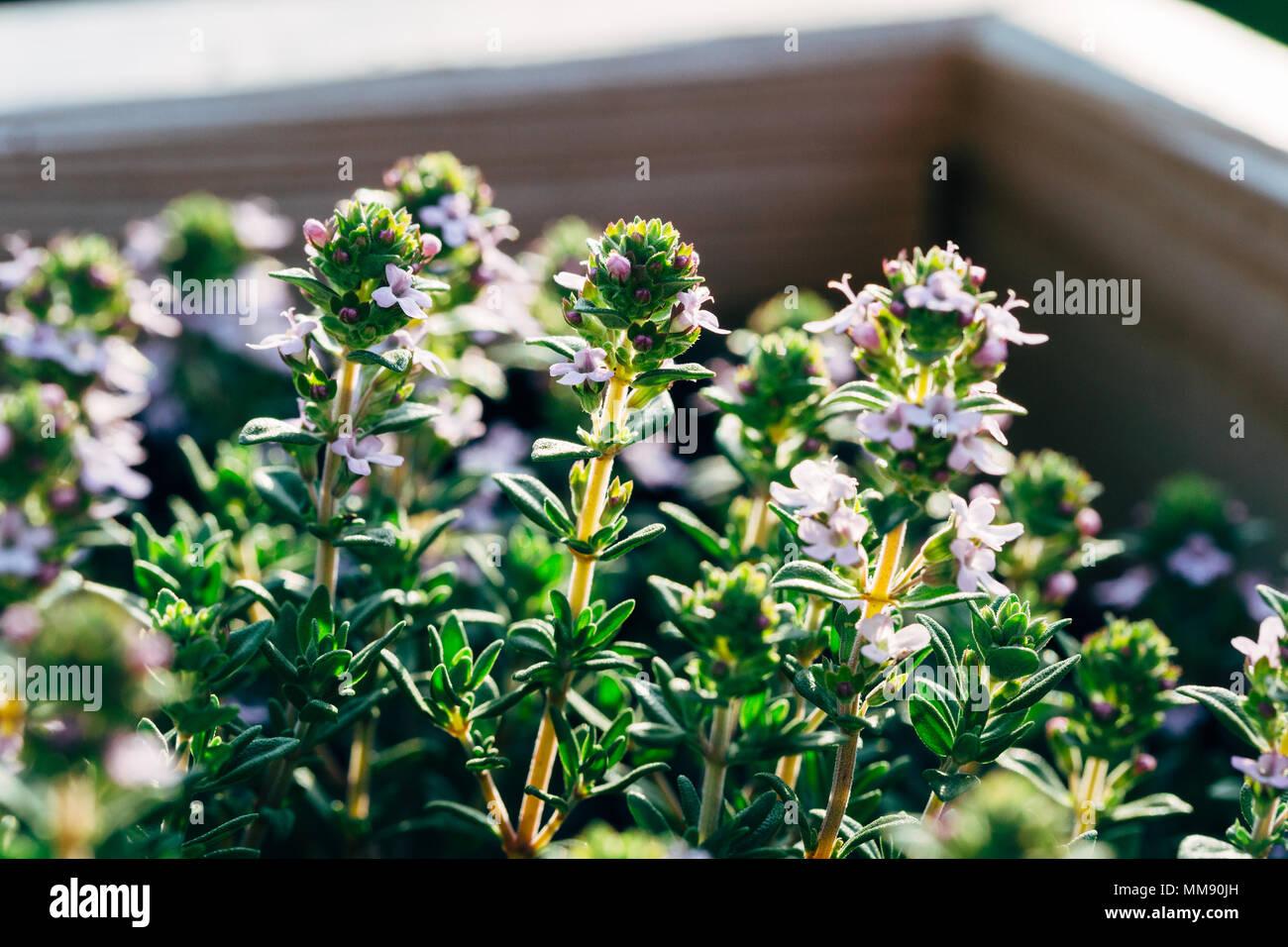 Primer plano de blooming tomillo hierbas Foto de stock