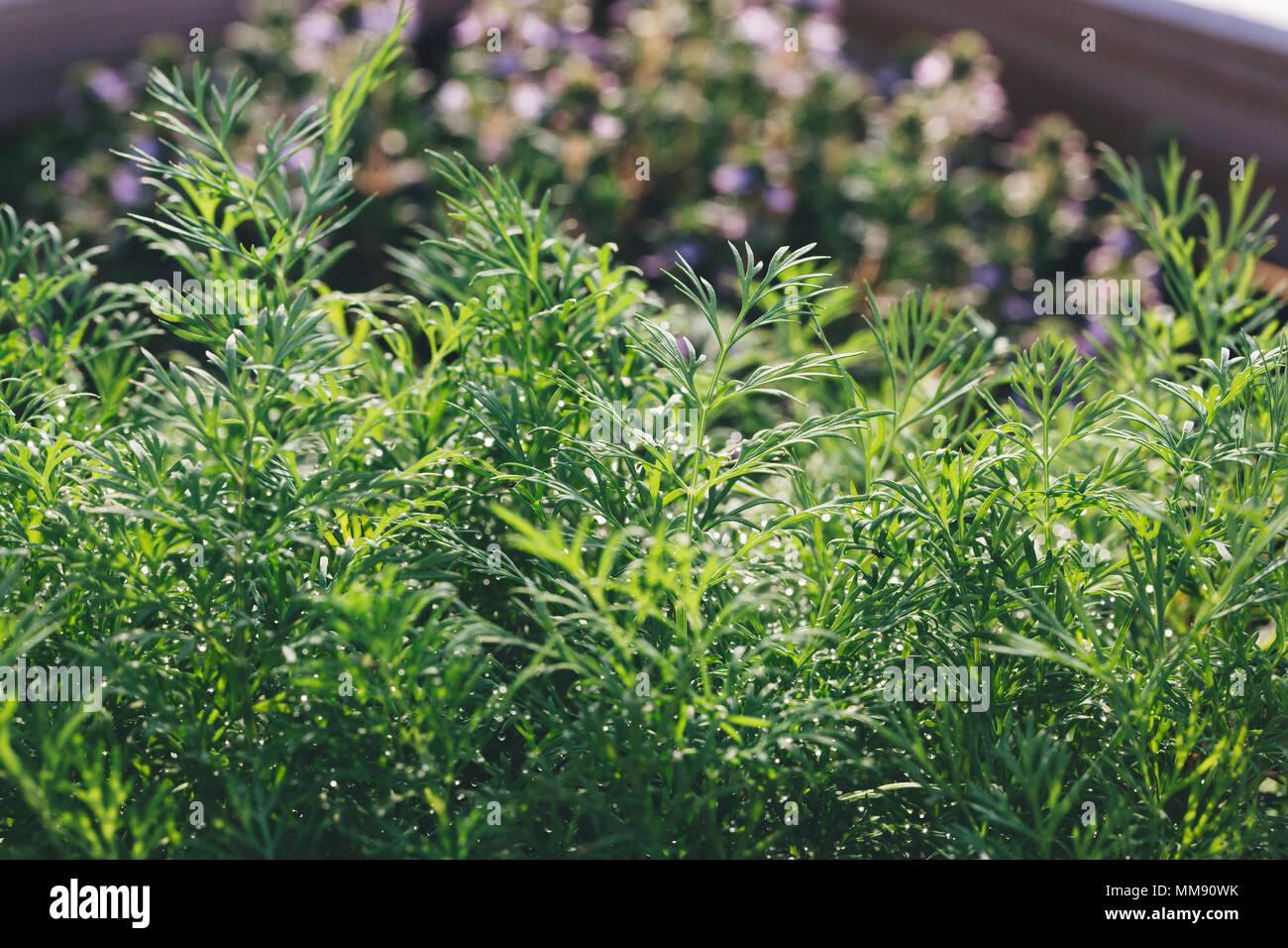 Cerca de eneldo fragantes plantas en un jardín bajo de sol por la mañana. Foto de stock