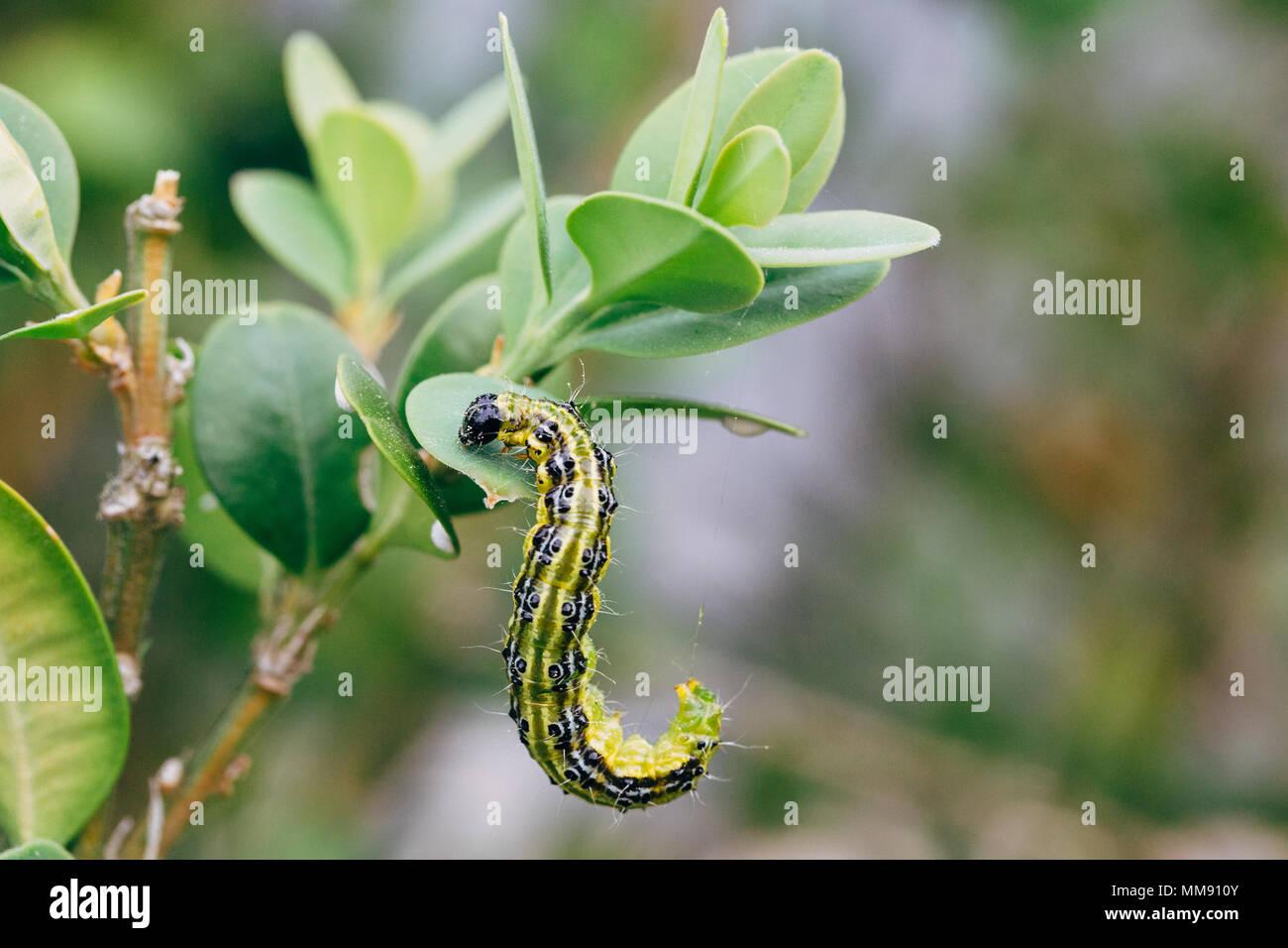 Cydalima perspectalis, conocido como árbol de cuadro de polilla. Foto de stock