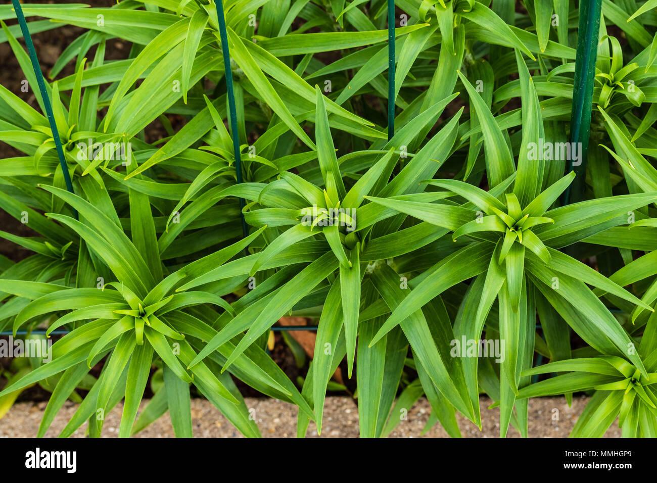 Los signos de la primavera el tigre lirios están recibiendo cada día más altos Imagen De Stock