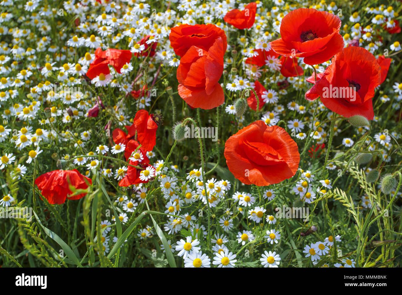 Lindas flores de papoula, dançando no vento Foto de stock