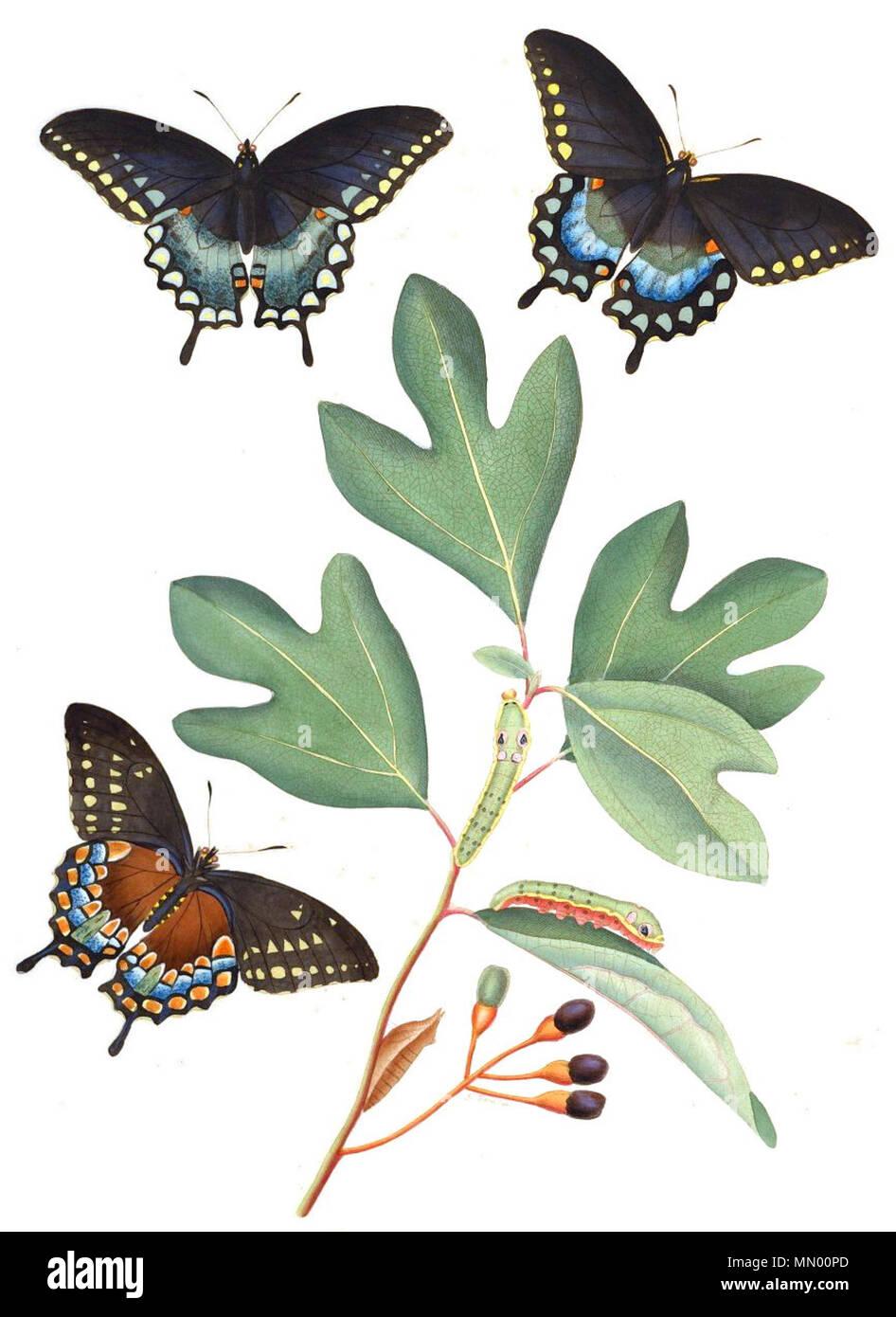 . Especie Spicebush , Papilio Troilo, el Sasafrás, Sassafras albidum (hostplant), grabado pintado a mano . 1797. Smith, James Edward, Sir, 1759-1828 (texto), abad, JUAN (1751-1840) artista AbbotV1Tab02A Foto de stock